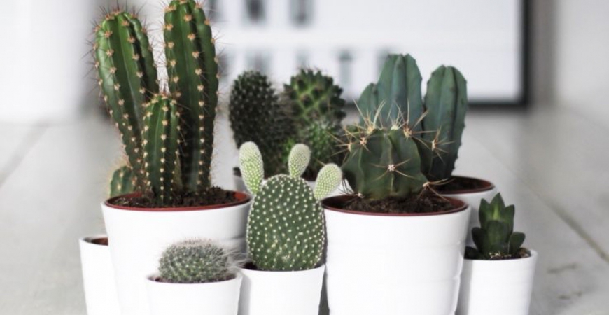 Cadeau déco : offrez un cactus !
